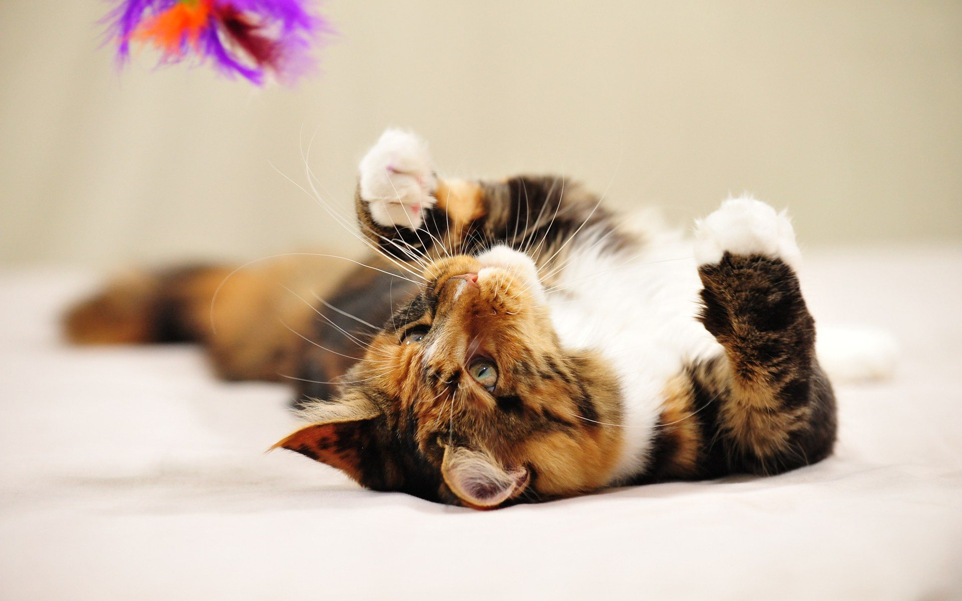 Maine-Coon-Cat-Playing-HD-Wallpaper-For-Desktop
