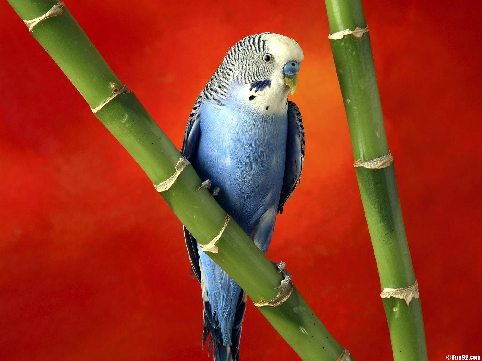 blue-parrot-1