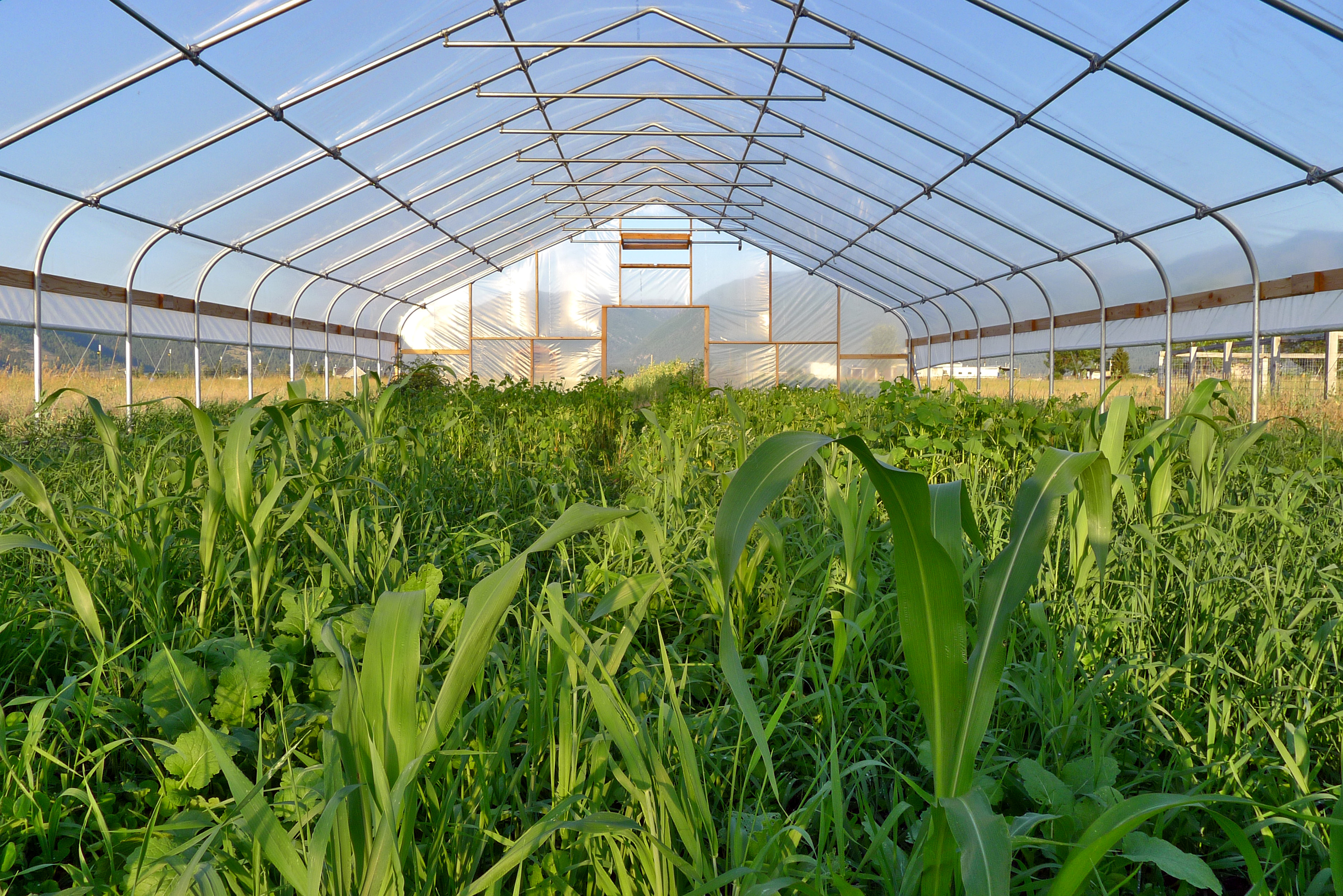 high-tunnel-cover-crop
