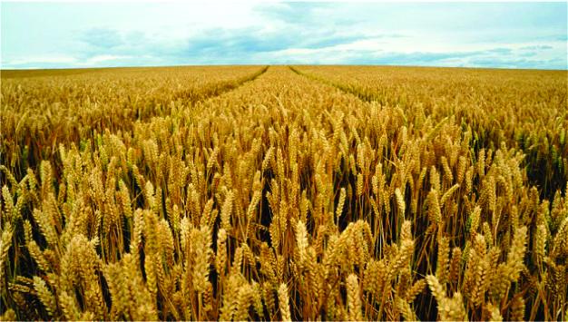 polje pšenice 2